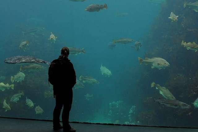 L'Homme face à la morue, ici pacifiquement dans un aquarium en Norvège. Ce poisson a permis de faire vivre des populations entières, mais les Hommes sauront-ils organiser la pêche de manière à assurer son avenir ? © Joachim S. Müller, Flickr, CC by-nc-sa 2.0