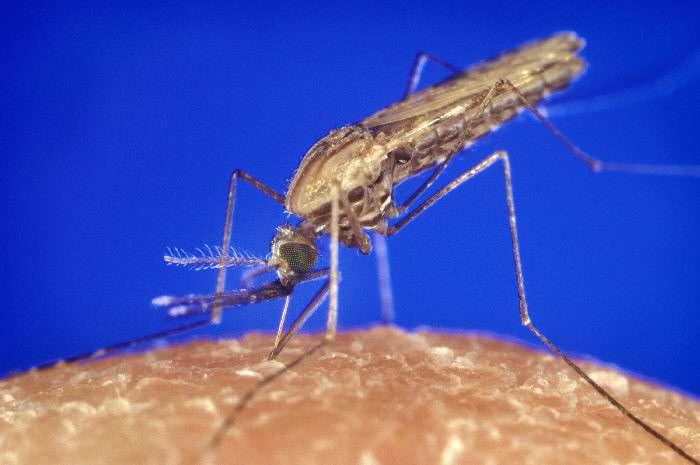 Anopheles gambiae est un moustique qui peut transmettre l'agent du paludisme. © CDC/James Gathany, Wikimedia Commons, DP