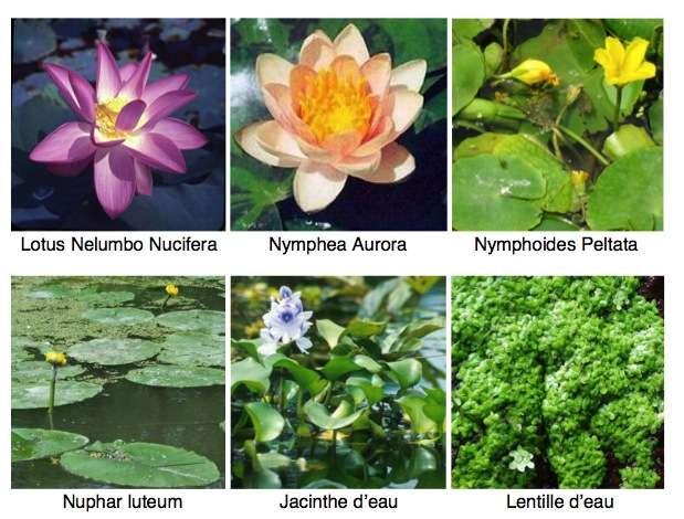 Les plantes flottantes. © AfloreDeau.fr