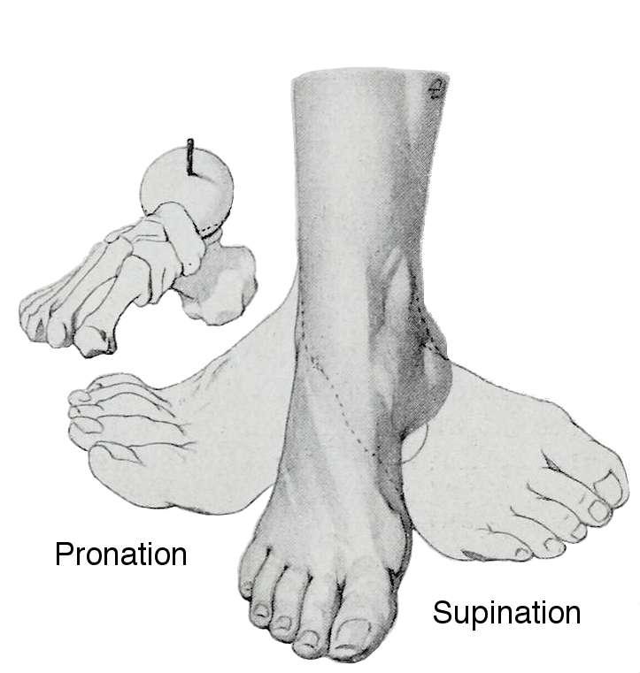 Par homologie avec l'avant-bras, un mouvement de pronation du pied peut être décrit. © Braus, Hermann, Anatomie des Menschen: ein Lehrbuch für Studierende und Ärzte, 1921, Wikipedia, DP
