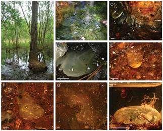Une collection complète dans quelques gouttes d'ambre… © Alexander R. Schmidt et David Dilcher
