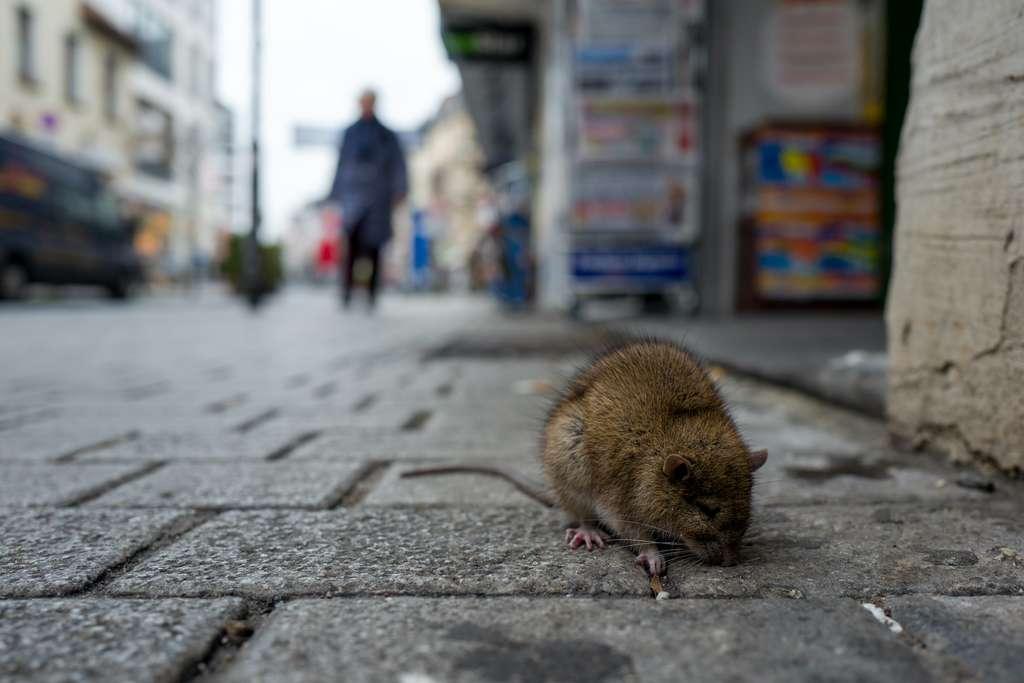 Les rongeurs trouvent en ville de la nourriture abondante et de nombreux microhabitats. © pierre aden/EyeEm, Adobe Stock