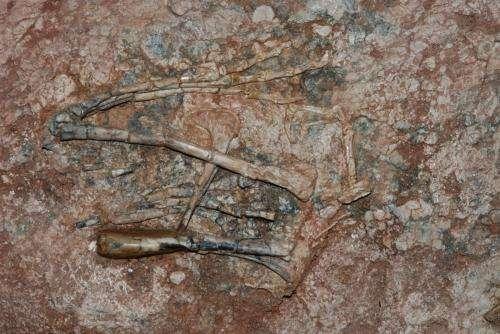 Plusieurs des os d'Aorun zhaoi trouvés en Chine composaient ses membres antérieurs (carpes, métacarpes, etc.). Ils sont visibles sur cette photographie. © James Clark, université George Washington