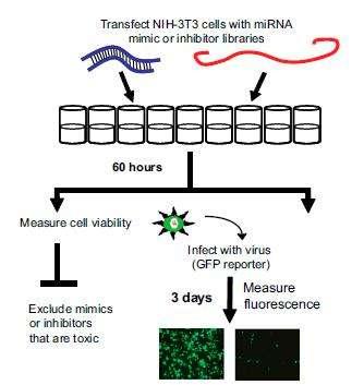 Stratégie du criblage de l'effet des microARN sur l'infection virale. Le mime (bleu) ou le piège (rouge) du microARN est inséré dans les cellules animales. Après 60 heures, la toxicité des microARN est vérifiée (à gauche), puis les cellules sont infectées par du virus fluorescent (à droite). Trois jours plus tard, la fluorescence des cellules est mesurée. © Université d'Edimbourg / PNAS