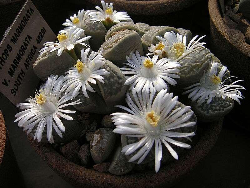 Lithops marmorata-ssp.-marm