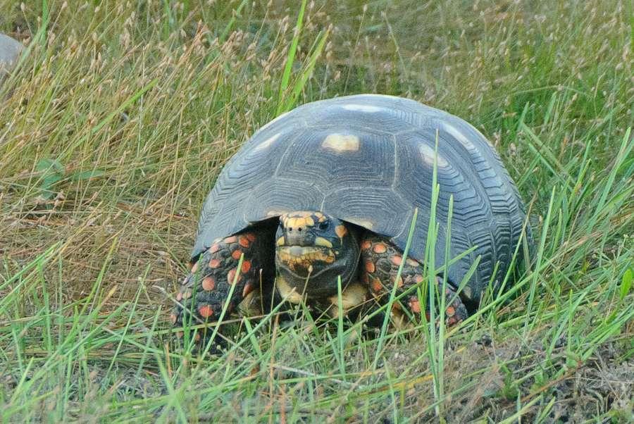 La couleur des pattes de la tortue charbonnière à pattes rouges est bien visible. © Flickr, David Schenfeld, cc by nc nd 2.0