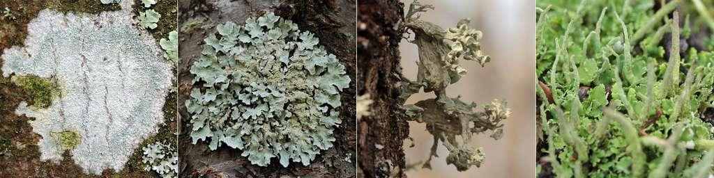 Les lichens présentent une grande diversité morphologique : thalles crustacé, foliacé, fruticuleux et complexe (de gauche à droite). © Yannick Agnan - Tous droits réservés