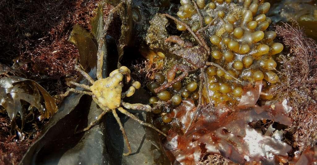 Un couple d'Inachus phalangium découvert à marée basse : à gauche, la femelle recouverte d'une éponge, à droite le mâle. © Catherine Vadon, DR