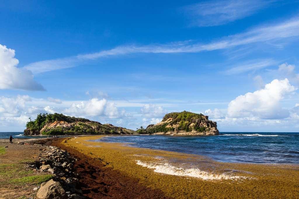 En Martinique, la décomposition des sargasses sur les plages émane du sulfure d'hydrogène et entraîne des dommages économiques. © floriusquimbert, Flickr