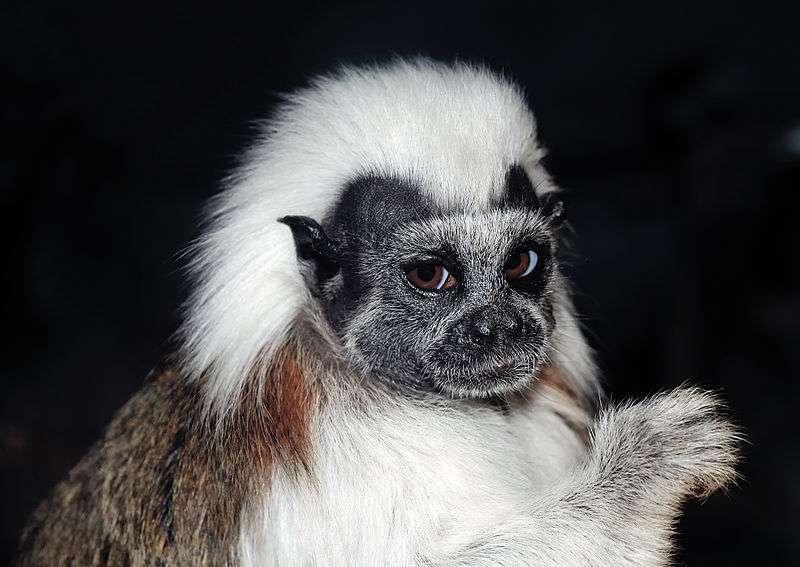 Le pincé à crête blanche est un singe arboricole. © Michael Gäbler, CC-by 3.0