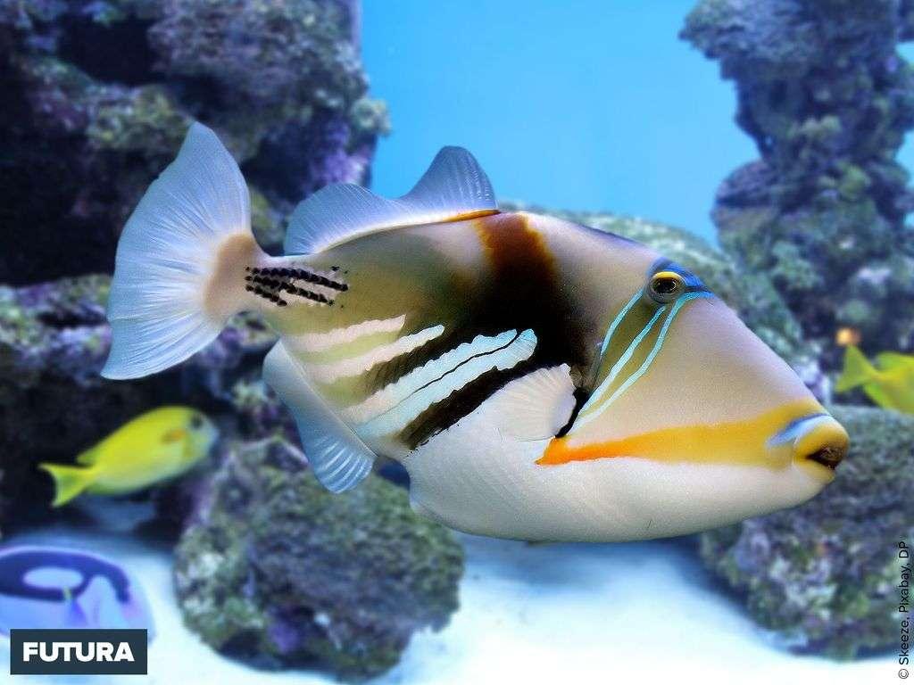 Le baliste (trigger-fish) : sa nageoire caudale se dresse comme une gâchette de pistolet.