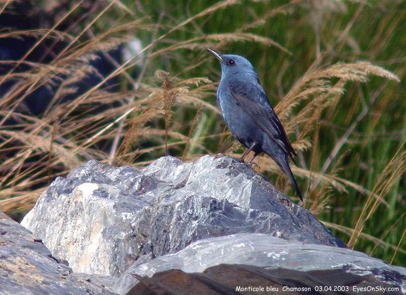 Monticole - Merle bleu