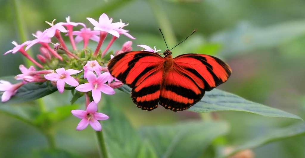 Papillon du Costa Rica. © Éric Valenne, Shutterstock