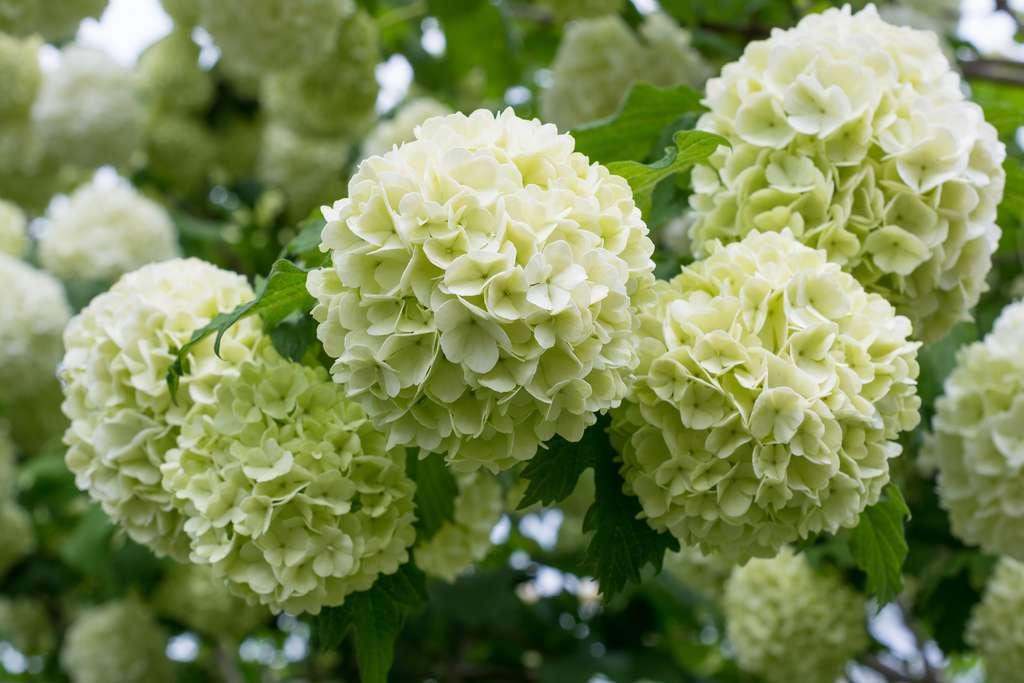 L'arbuste boule de neige peut atteindre trois à quatre mètres. Ses fleurs sphériques sont du plus bel effet. © iryna_l, Adobe Stock