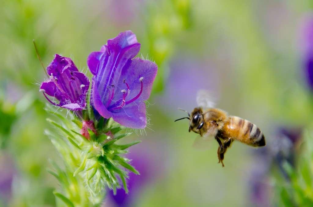 Selon une nouvelle étude, cette abeille pourrait théoriquement utiliser le champ électrique qu'elle génère en volant pour communiquer avec des congénères. © Supersum (off), Flickr, cc by sa 2.0