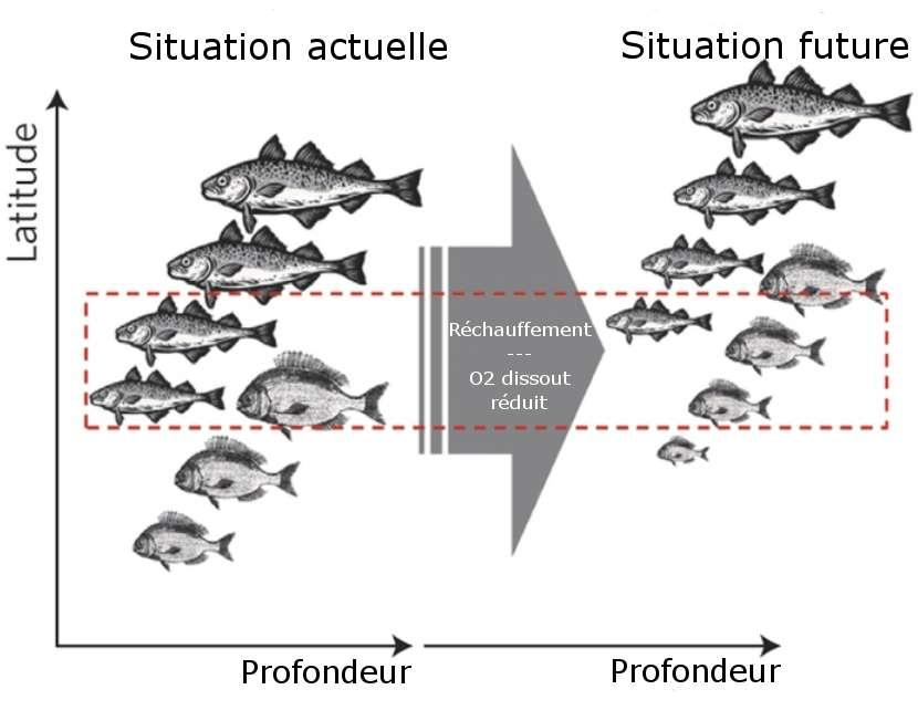 Changements attendus pour les poissons vivant au sein d'une région définie (encadré rouge) dans le futur, en fonction de la latitude et de la profondeur. À la suite de la réduction de la concentration en oxygène dissout dans l'eau causée par le réchauffement climatique, les poissons pourraient devenir plus petits et migrer vers les pôles. © adapté de Cheung et al. 2012, Nature Climate Change