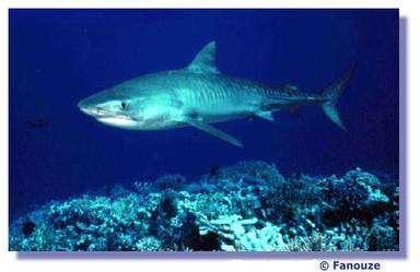 Protéger les requins pour préserver la biodiversité. © Fanouze