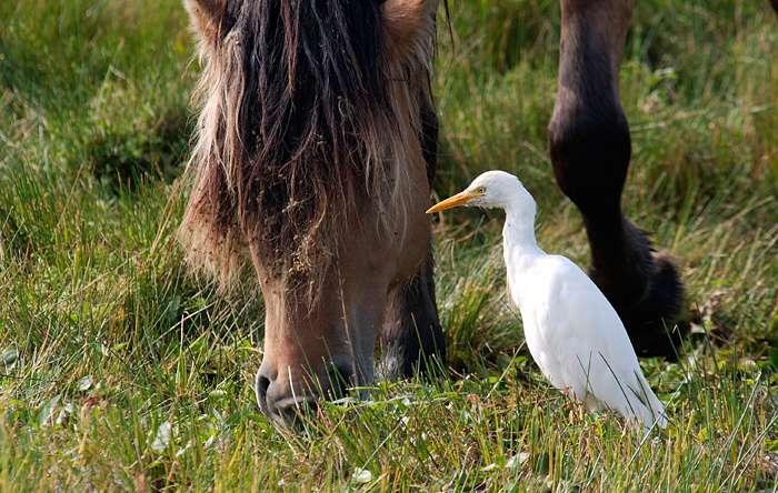 Héron garde-bœuf en compagnie d'un cheval henson. © Xav801972, GNU FDL Version 1.2