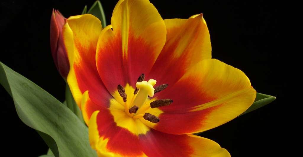 Une variété de tulipe avec six tépales, nom donné aux organes du périanthe lorsqu'on ne peut pas distinguer pétales et sépales. © Jorgebarrios, CC by-nc 3.0