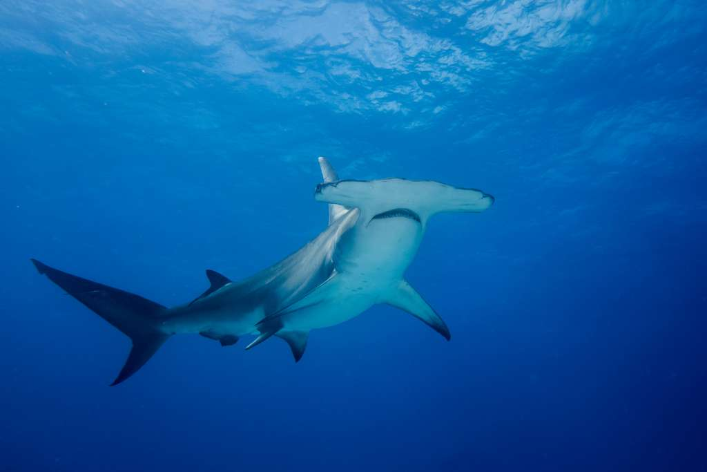 Le requin-marteau fréquente les récifs des eaux tropicales, ici dans les eaux des Bahamas. © hakbak, Adobe Stock
