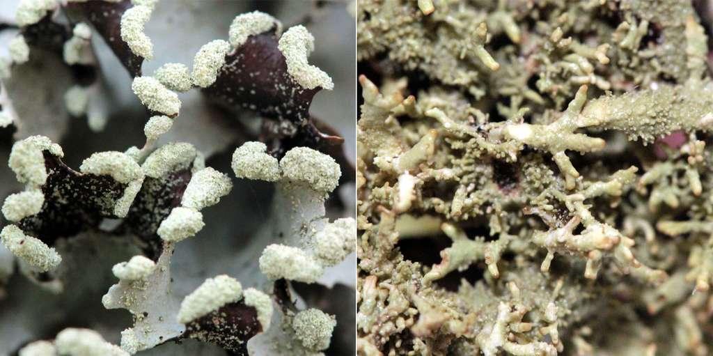 Structures de reproduction asexuée chez les lichens : soralies (à gauche) et isidies (à droite). © Yannick Agnan - Tous droits réservés