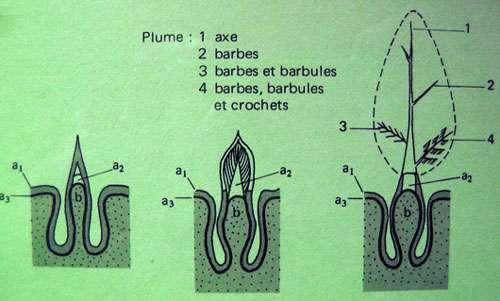 Formation cutanée des plumes. © Reproduction et utilisation interdites