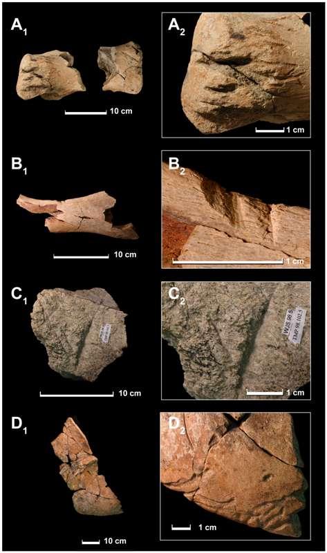 Quelques uns des fragments d'os de T-rex montrant des traces de morsures d'un autre T-rex. © Nicholas Longrich-Yale University