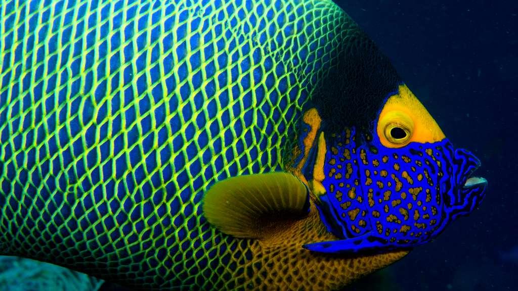 Un poisson-ange à front jaune, en Indonésie