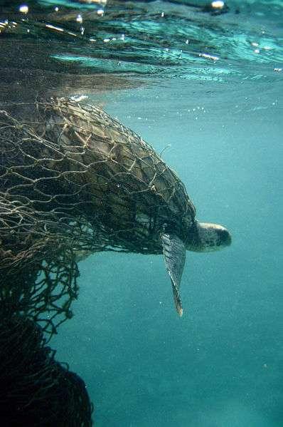 La tortue verte est une espèce protégée depuis 1983, mais elle est encore victime d'actes de braconnage. En mer, elle est menacée par les collisions de navires et les filets de pêche dans lesquels elle se fait prendre au piège. © Wikipédia, DougHelton, NOAA, DP