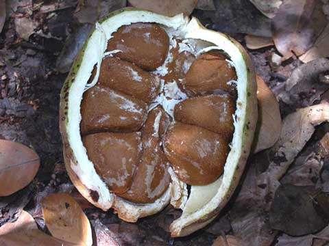 Carapa procera - Le fruit, le deuxième organe de mobilité des plantes (vecteur = animaux) © Photo Philippe Birnbaum - Tous droits de reproduction réservés