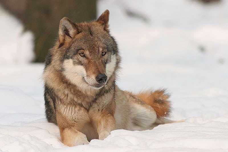 Loup gris dans la neige. © Bernard Landgraf, GNU FDL Version 1.2