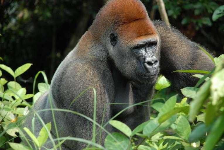 Gorille « dos argenté ». © Pierre Fidenci, CC by SA 2.5