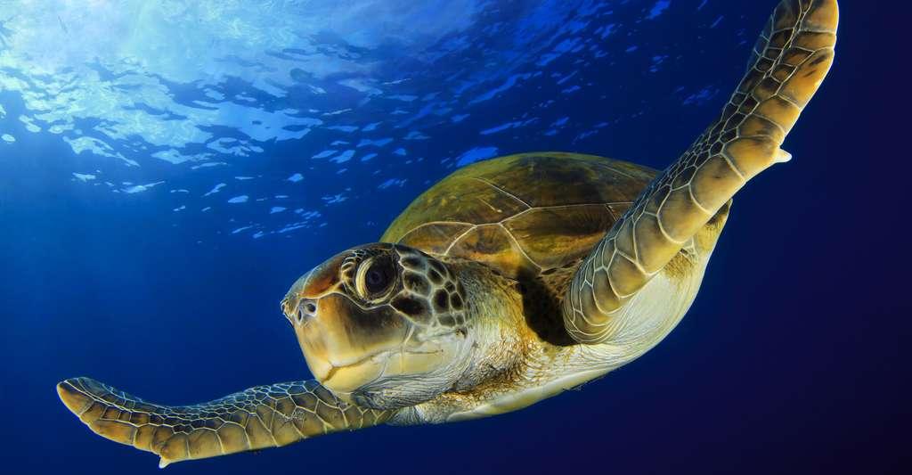 Les tortues de mer semblent bien plus sympathiques. Une chance pour leur conservation. © David Carbo, Shutterstock