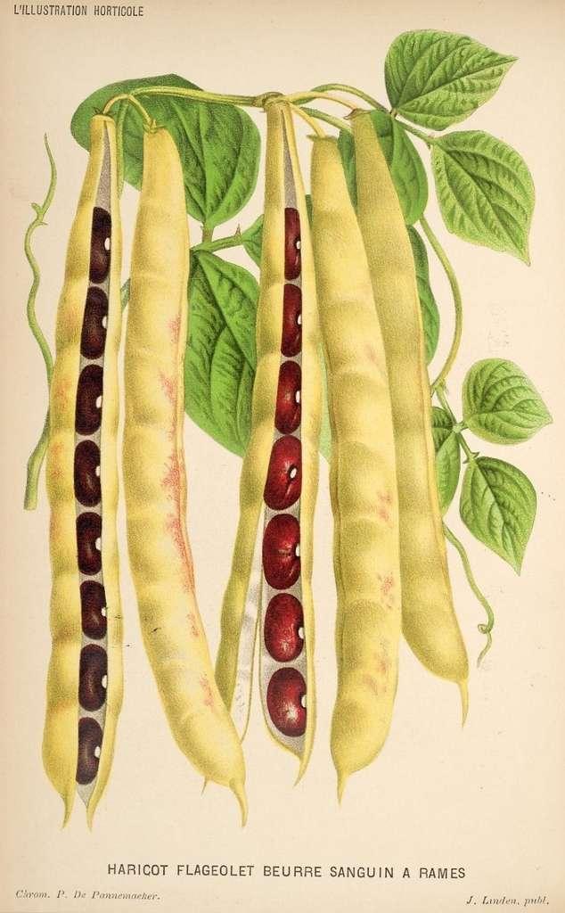 Grains de haricots rouges. © BHL, Domaine public
