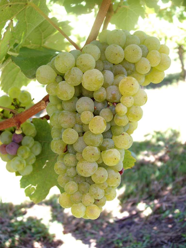 Variété de raisin 'folle blanche', cépage de l'ouest de la France utilisé pour la distillation du Cognac et de l'Armagnac. Inrap. © IFV Sud-Ouest