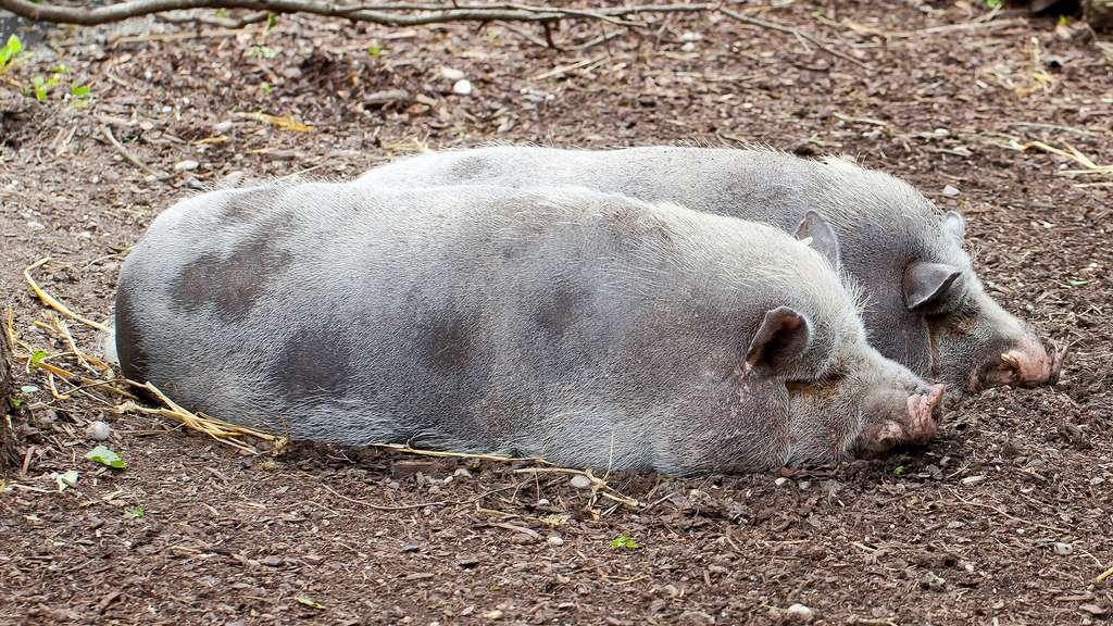 Le porc de Turopolje