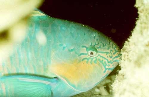 Poisson perroquet et corail. Nouvelle-Calédonie. © IRD - Pierre Laboute