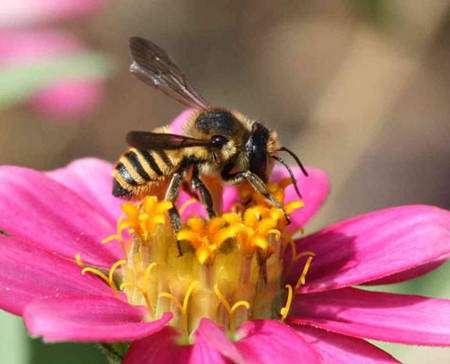 Cette abeille solitaire est une Megachile sp., que l'on appelle également « découpeuse de feuilles ». Elle découpe effectivement des morceaux de feuilles avec ses mandibules pour en tapisser son nid. On distinguera les poils qui recouvrent son corps et sa brosse ventrale, qui lui sert à récolter le pollen en se frottant sur les étamines. © Patrick Straub
