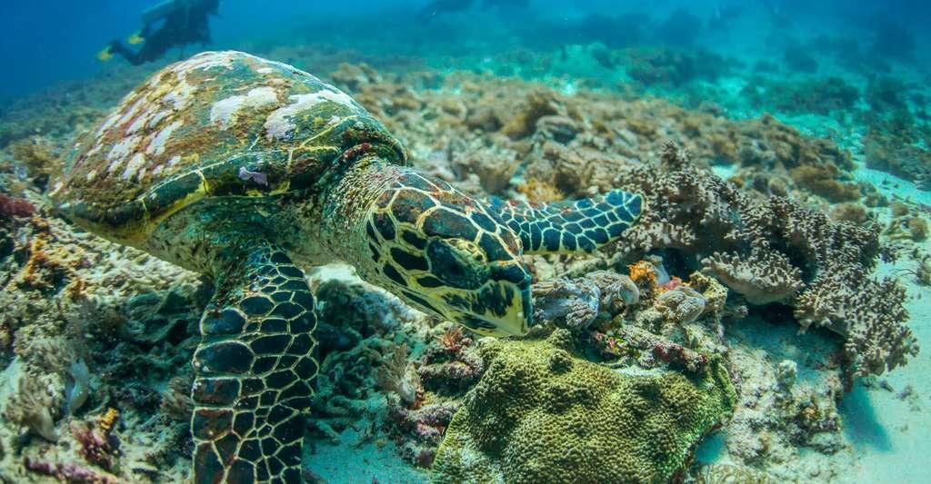 Les coraux attirent les touristes, qui apprécient observer la faune et la flore sous-marines. © Guillaume Holzer, Coral Guardian, tous droits réservés