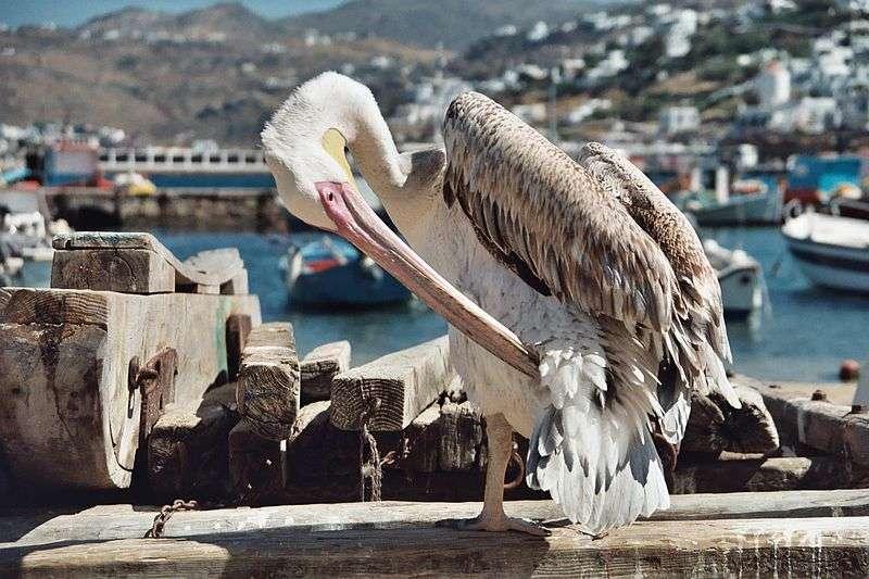Juvénile dans le port de Mykonos. © Heiko Gorski, GNU FDL Version 1.2