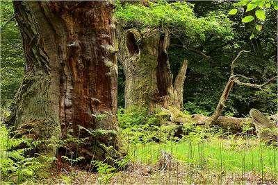 La diversité des arbres est l'un des facteurs de contrôle des différents animaux du sol. Sur cette photo, gros bois et bois-mort de diamètres exceptionnels dans la hêtraie (forêt ancienne) de Reinhardswald (Allemagne). © Lebrac - Licence de documentation libre GNU, version 1.2
