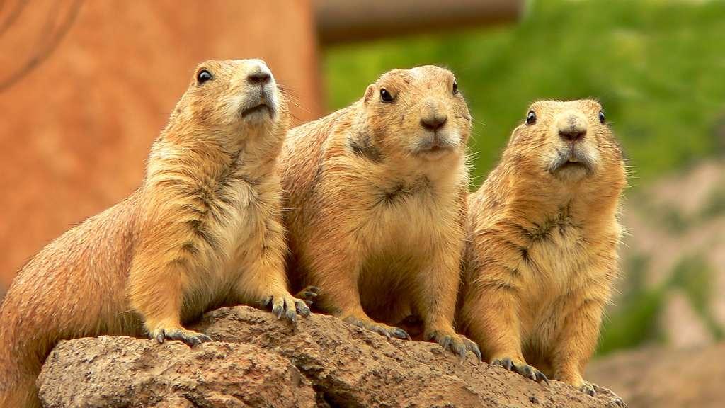 Le chien de prairie, la marmotte du Nouveau Monde