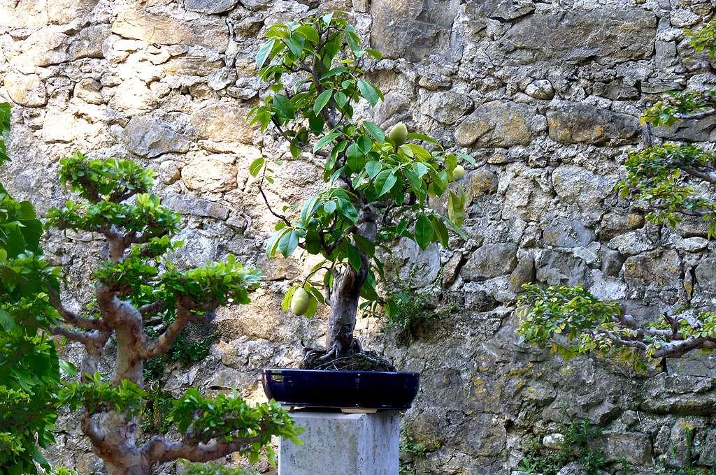 Exemple d'arbre fruitier bonsaï de la bambouseraie de Prafrance. © AB, CC by-nc 2.0