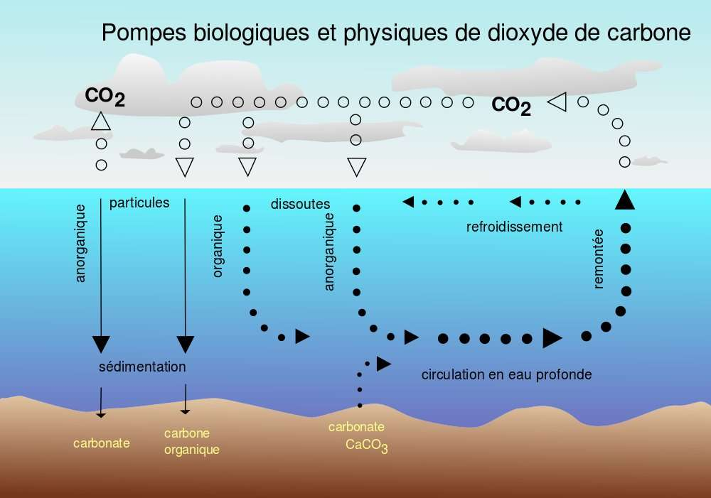 L'océan absorbe 40 % du gaz carbonique émis dans l'atmosphère de façon anthropique. Le CO2 pénètre en profondeur par la circulation thermohaline : c'est la pompe physique (à droite), basée sur un mécanisme de circulation en eau profonde. Mais le CO2 est aussi consommé en surface par le plancton, ce qui le transforme en biomasse. C'est la pompe biologique (à gauche), qui consomme le carbone sous forme de particules organiques : une partie devient du carbone organique dissous, sédimente puis s'enfouit dans le fond océanique. © Isaac Sanolnacov, cc by sa 3.0