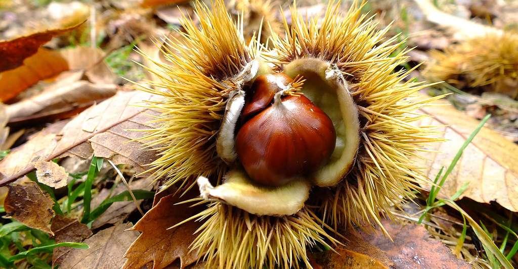 Le châtaigner : plantation, feuilles, fruits et fleurs. Ici, châtaignes dont on fait une délicieuse farine. © LSC, Pixabay, DP