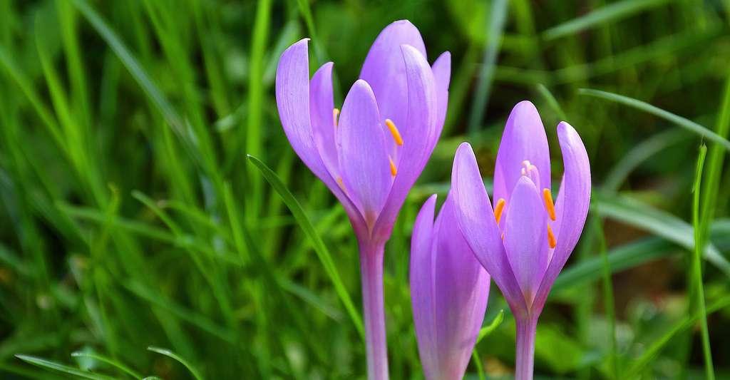 Les colchiques, des fleurs élégantes couleur pastel. © Anemone123, Pixabay, DP