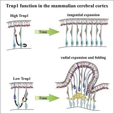 Comment l'activité du gène Trnp1 façonne le cerveau. Lorsqu'il est fortement exprimé (en haut), le cortex s'étend sur la largeur. En revanche, lorsqu'il est peu exprimé (en bas), les cellules souches neurales se divisent, ce qui engendre des boursouflures, prémices des circonvolutions. © Götz et al., Cell