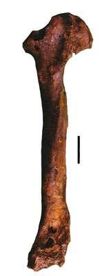 Tibiotarse de Gastornis provenant de l'Éocène inférieur de l'Aude (collection du Musée des dinosaures d'Espéraza). © Éric Buffetaut
