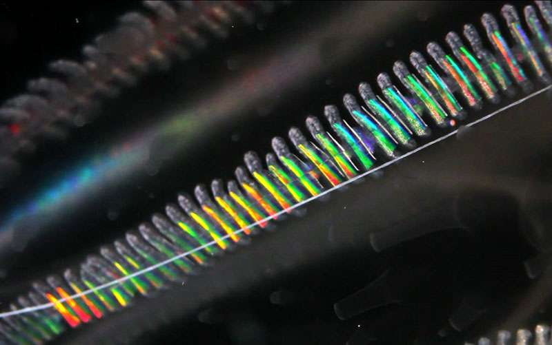Prédation : Beroe mord et ingère Leucothea. Certains cténophores comme ce Beroe sont capables de mordre et d'ingérer des cténophores plus gros qu'eux – comme ici ce Leucothea – en dilatant leur bouche. À l'intérieur du Beroe on distingue les palettes ciliaires du Leucothea. © C. et N. Sardet/CNRS