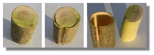 Figure 8. Tronc de genêt fraîchement coupé. Il est très facile de séparer l'écorce du bois. La séparation s'effectue au niveau du cambium qui est le tissu le moins différencié donc le plus fragile.© Photo R. Prat